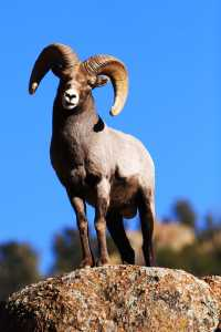 Bighorn at Shelf Road, CO. ©Mike Anderson
