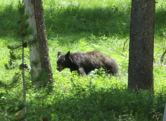 Black Bear in Grand Teton National Park.